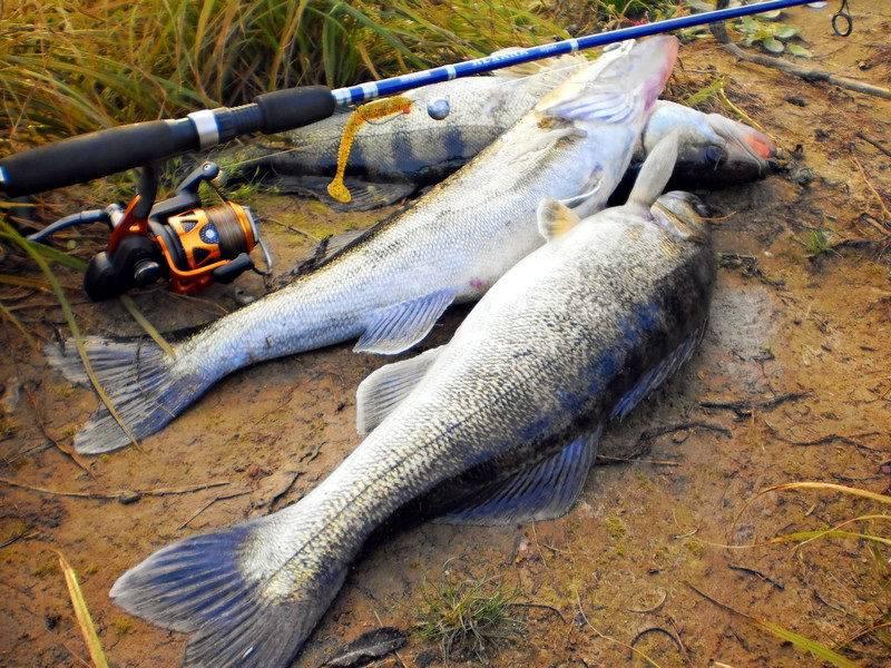 Определяющие факторы, от которых зависит ловля судака на спиннинг