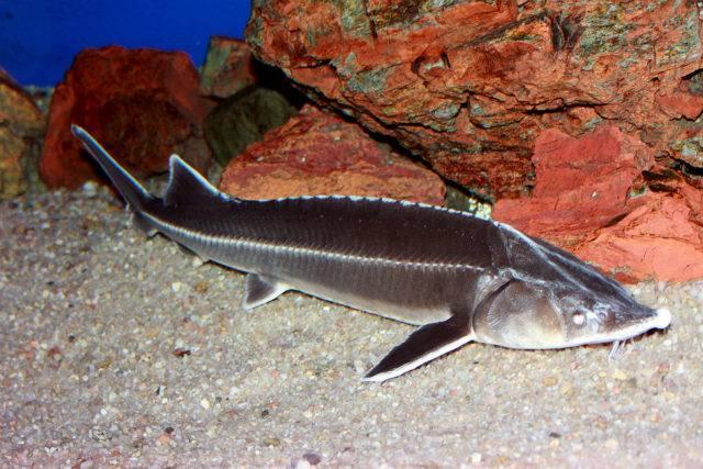 Эта осетровая рыба с давних пор славится своими гастрономическими свойствами, а ее ужение почитается многими любителями рыбалки