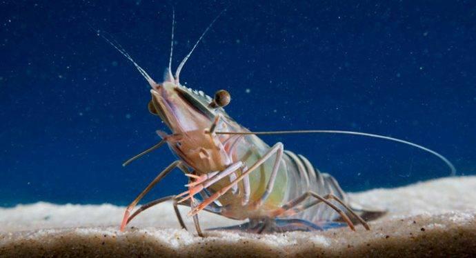 Есть ли креветки в черном море
