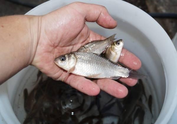 Живцы для рыбалки
