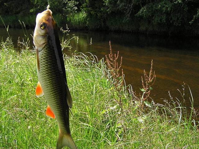 По весне искать эту рыбу стоит преимущественно на границе быстрого и более медленного течений, а также в местах под низко наклоненными к воде деревьями