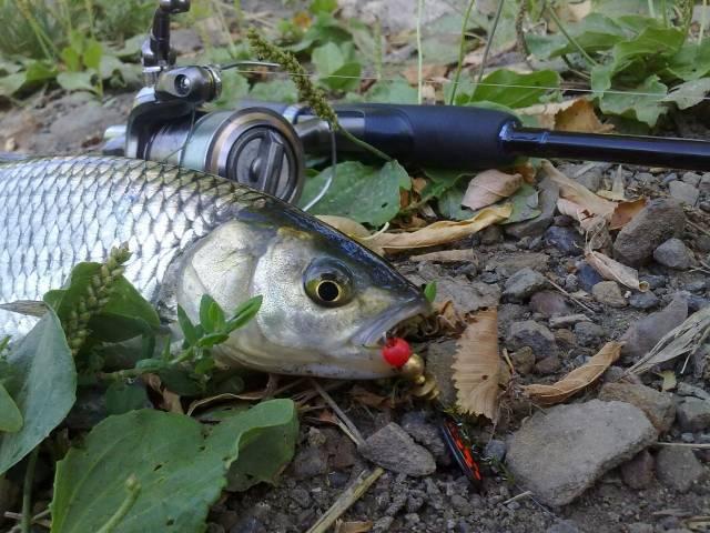 На что клюет жерех в реальной рыбалке