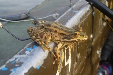 Ловля лягушек на сома
