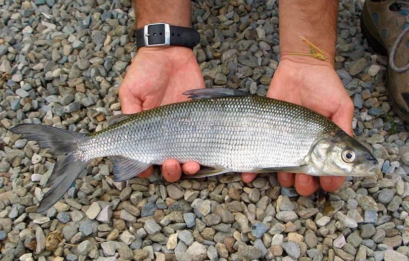 теперь многие сиг балтийский рыба фото основном