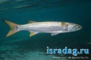 Фотография рыбы кефаль (лобан - пеленгас - бури - mullet). Автор - Roberto Pillon