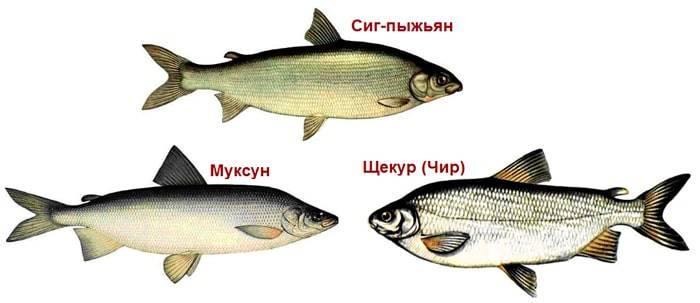 похожие рыбы
