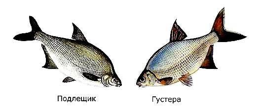 Kharakternihe-otlichiya-podlethika-ot-gusterih