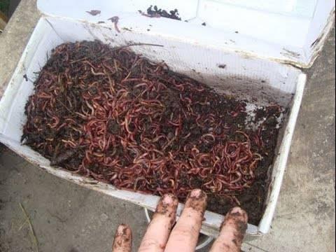 Как развести червей дождевых