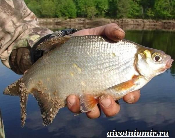 Густера рыба