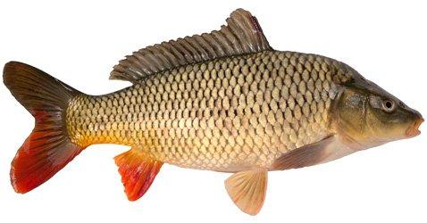 Что за рыба карп
