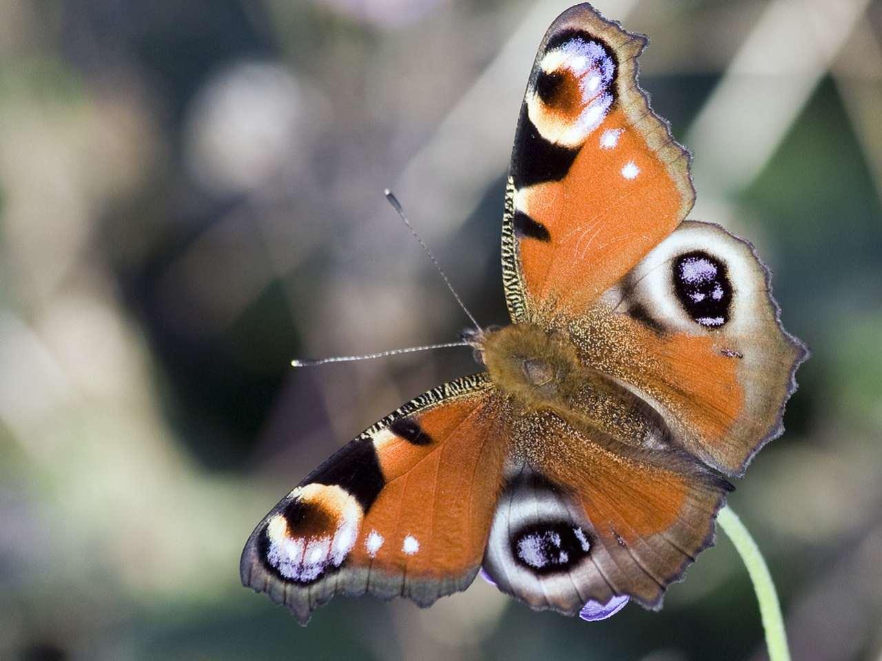 Метелика личинка фото